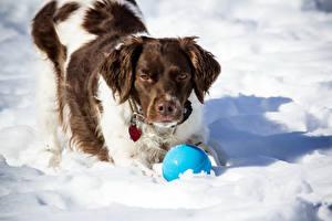 Фото Собаки Спаниель Снег Мяч Животные