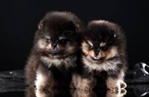 Фотография Собаки Шпиц Черный 2 Пушистый Щенок Животные