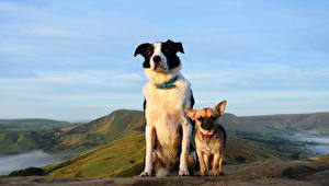 Картинки Собаки 2 Чихуахуа Смотрит