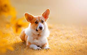 Фотография Собака Вельш-корги Животные