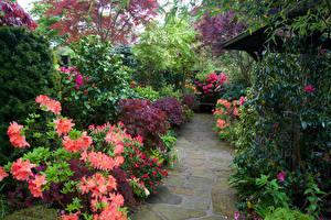 Фотографии Англия Сады Рододендрон Кусты Walsall Garden Цветы