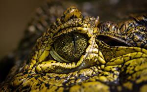 Картинки Глаза Крокодил Вблизи животное