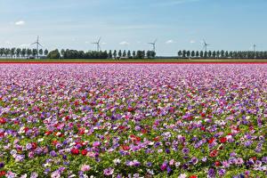 Фотография Поля Анемоны Много Цветы