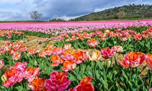 Картинка Поля Тюльпаны Много Цветы