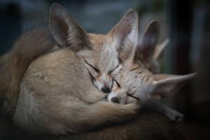 Фото Лисица Фенек Двое Сон животное