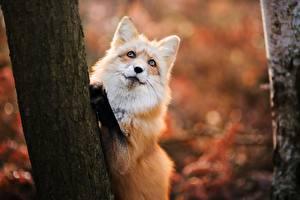 Фото Лисы Смотрит Ствол дерева