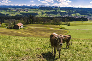 Картинка Германия Пейзаж Луга Корова Трава Allgaeu Животные
