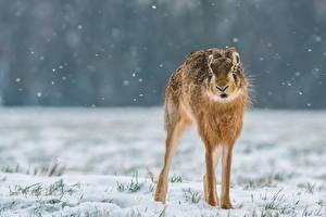 Фото Зайцы Снега