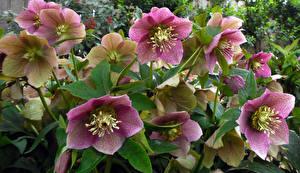 Фото Морозник Вблизи цветок