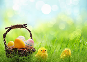 Фото Праздники Пасха Цыплята Яйцо Корзина Трава