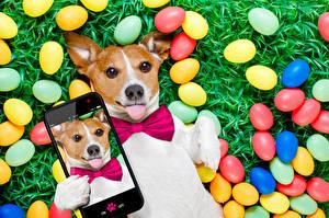 Картинка Праздники Пасха Собаки Джек-рассел-терьер Яйца Смартфон Язык (анатомия) Селфи Смешные Животные