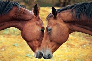 Фотография Лошади Морда Двое Животные