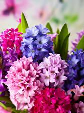 Фотография Гиацинты Вблизи цветок