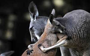 Фотография Кенгуру Любовь Детеныши Двое Объятие Животные