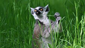 Обои Лемуры Трава Ring-tailed lemur Животные