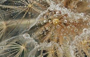 Фотография Макросъёмка Одуванчики Вблизи Капли Цветы