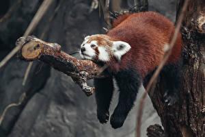 Обои Бамбуковый медведь Малая панда Ствол дерева