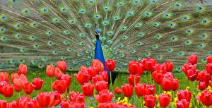 Фото Павлины Тюльпаны Животные Цветы