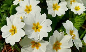 Фотография Первоцвет Крупным планом Белый Цветы