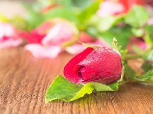Картинка Розы Вблизи Красный Мокрые Капли Цветы