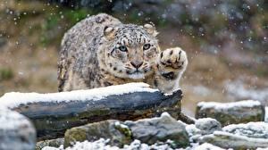 Фотография Барсы Снег Лапы Животные