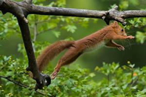 Фотография Белки Ветки Прыжок Животные