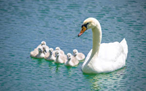 Картинки Лебедь Воде Птенцы Белых