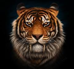 Фото Тигры Клыки Черный фон Морда Взгляд Усы Вибриссы Saber-toothed Животные