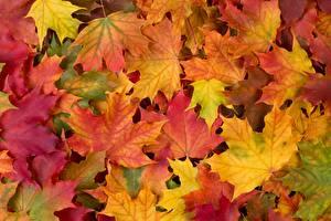 Фотография Осень Текстура Листья Клён Разноцветные Природа