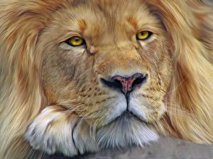 Обои Большие кошки Львы Крупным планом Морда Усы Вибриссы Смотрит Животные