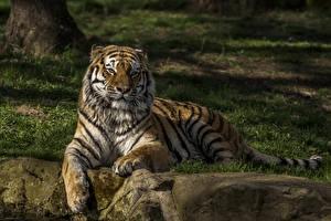 Фотографии Большие кошки Тигры Смотрит