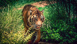 Фотография Большие кошки Тигры Трава Морда