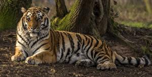 Фотография Большие кошки Тигры Ствол дерева Взгляд