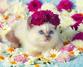 Картинки Кошки Ромашки Хризантемы Взгляд Котята Милые Животные