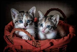 Фотографии Коты Цветной фон Котята 2 Смотрит Корзина Миленькие Животные