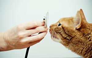 Фотография Коты Пальцы Рыжий Руки Нюхает Животные
