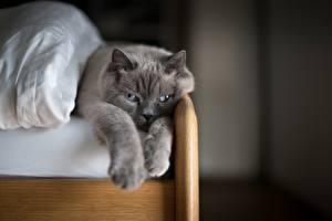 Фото Коты Серый Лапы Животные