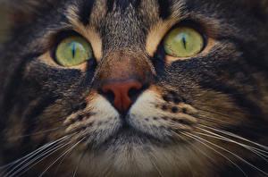 Фотография Коты Макросъёмка Вблизи Глаза Усы Вибриссы Морда Животные