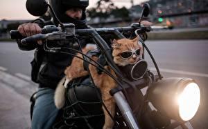 Фотография Коты Мотоциклист Очки Смешные Мотоциклы Животные