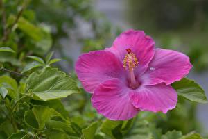 Фотография Вблизи Гибискусы Розовый Цветы