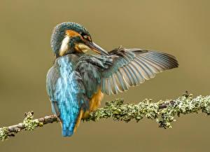 Картинка Обыкновенный зимородок Птицы Цветной фон Ветвь Животные