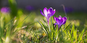 Фотографии Крокусы Весна Трава Цветы