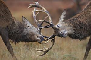 Фотографии Олени Рога Сражение 2 Животные