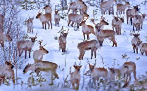 Обои Олени Много Финляндия Снег Стадо Bing Животные