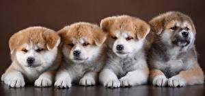 Фотографии Собаки Акита-ину Милый Лапы Четыре 4 Животные