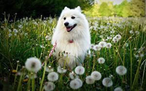 Фотография Собаки Одуванчики Белая Трава Животные
