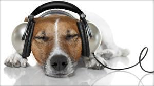 Картинка Собаки Наушники Морда Джек-рассел-терьер Белый фон Спит Релакс