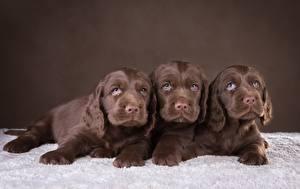 Обои Собаки Трое 3 Спаниель Коричневый Щенок Животные