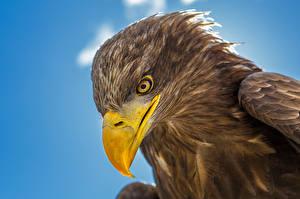 Обои Орел Птица Крупным планом Клюв Голова Животные