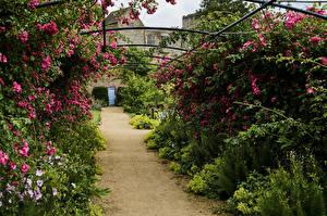 Картинки Англия Сады Розы Кусты Helmsley Castle Garden